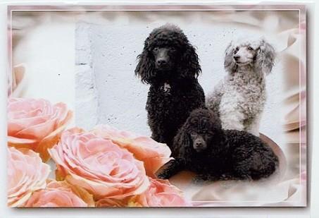 mes 3 caniche reunis
